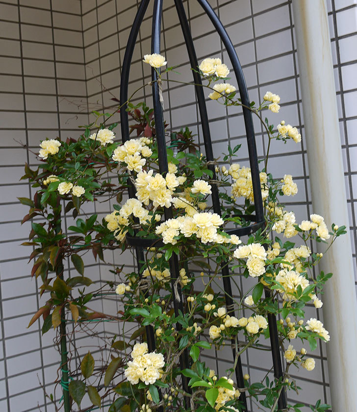 黄モッコウバラ(ツルバラ)がたくさん咲いた。2017年-4.jpg