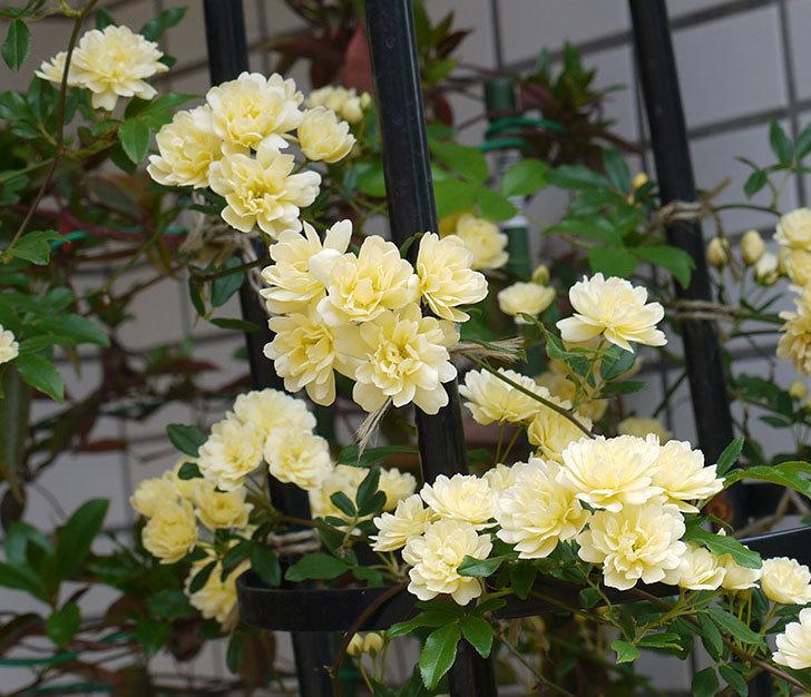 黄モッコウバラ(ツルバラ)がたくさん咲いた。2017年-5.jpg