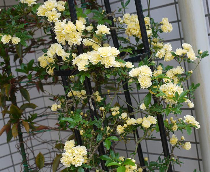 黄モッコウバラ(ツルバラ)がたくさん咲いた。2017年-6.jpg
