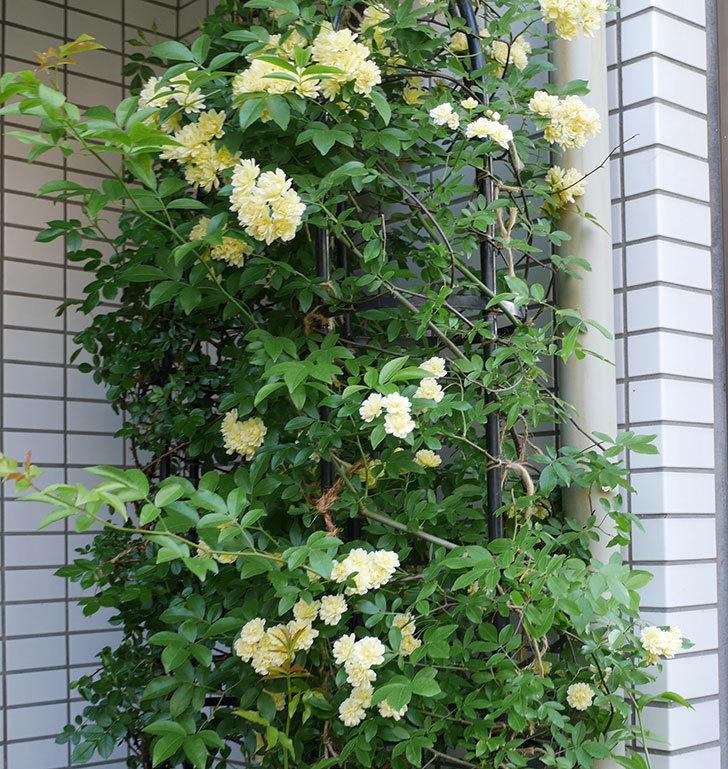 黄モッコウバラ(ツルバラ)がたくさん咲いた。2018年-2.jpg