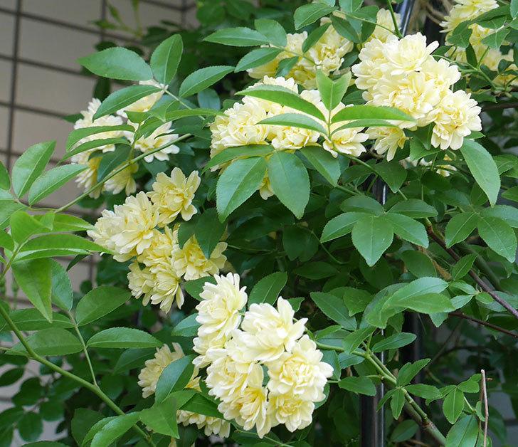 黄モッコウバラ(ツルバラ)がたくさん咲いた。2018年-3.jpg