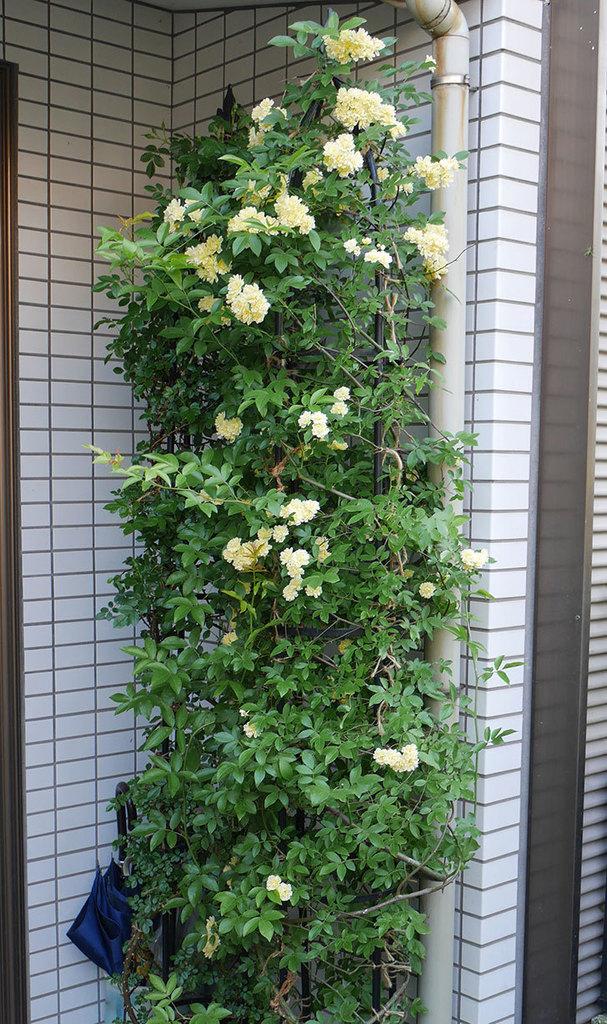 黄モッコウバラ(ツルバラ)がたくさん咲いた。2018年-4.jpg