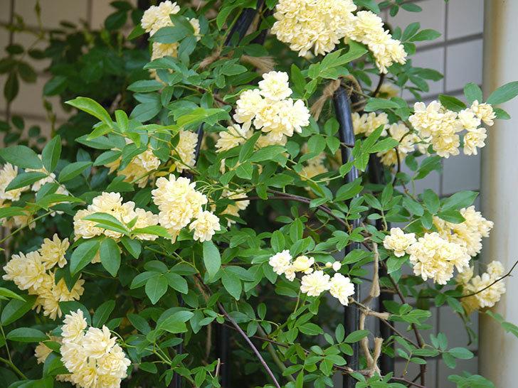 黄モッコウバラ(ツルバラ)がたくさん咲いた。2018年-5.jpg