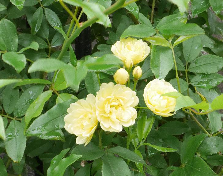 黄モッコウバラ(ツルバラ)が咲いた。2019年-1.jpg