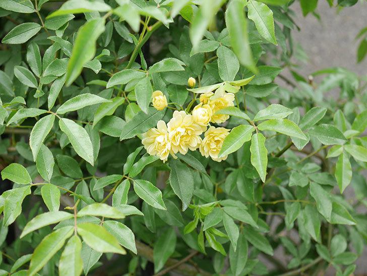 黄モッコウバラ(ツルバラ)が咲いた。2019年-10.jpg
