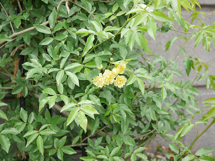 黄モッコウバラ(ツルバラ)が咲いた。2019年-11.jpg