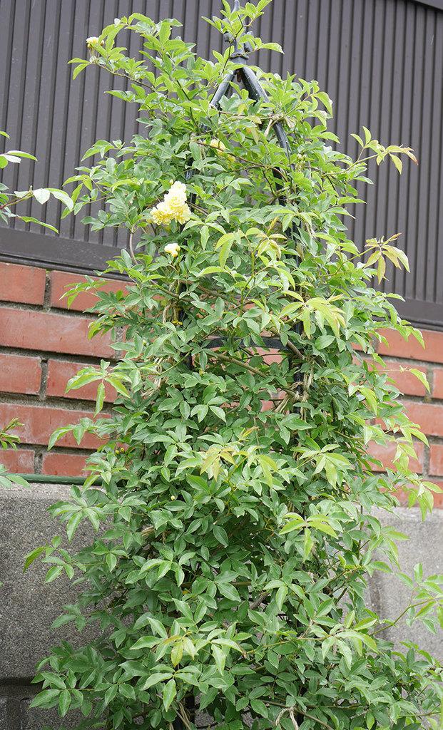 黄モッコウバラ(ツルバラ)が咲いた。2019年-12.jpg