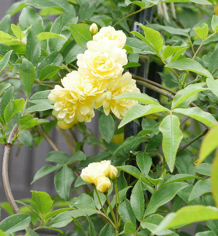 黄モッコウバラ(ツルバラ)が咲いた。2019年-13.jpg