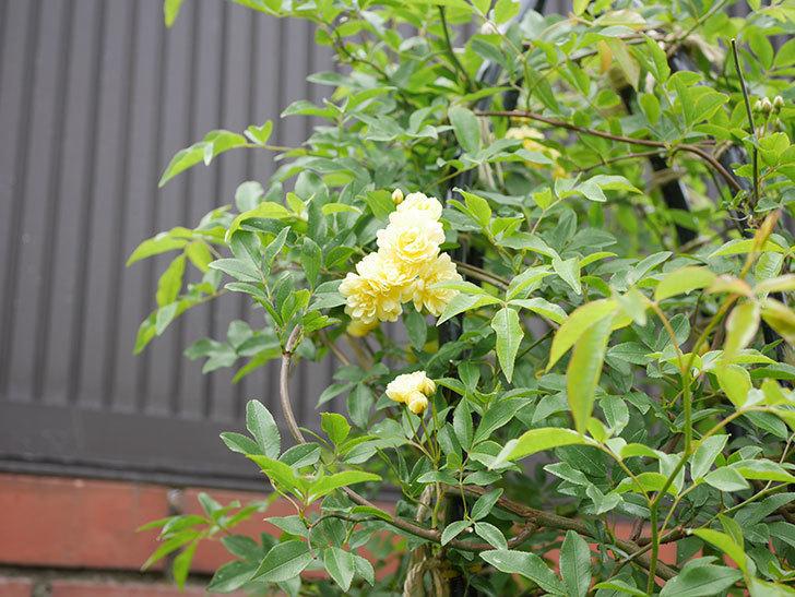 黄モッコウバラ(ツルバラ)が咲いた。2019年-14.jpg