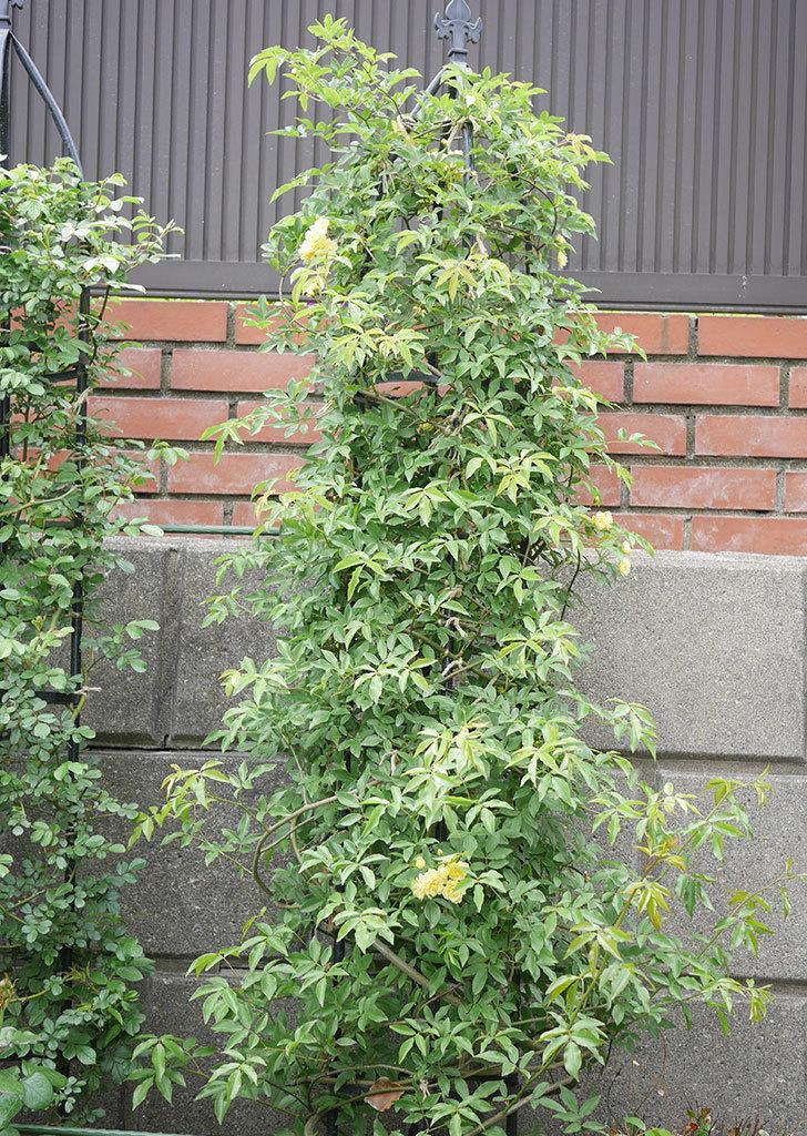 黄モッコウバラ(ツルバラ)が咲いた。2019年-15.jpg