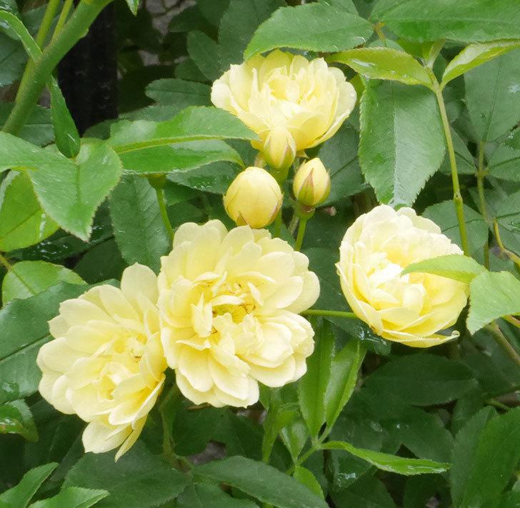 黄モッコウバラ(ツルバラ)が咲いた。2019年-2.jpg