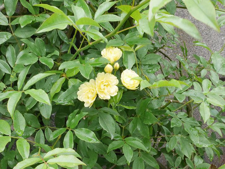 黄モッコウバラ(ツルバラ)が咲いた。2019年-3.jpg