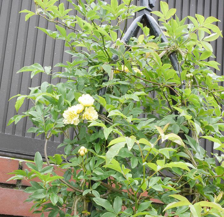 黄モッコウバラ(ツルバラ)が咲いた。2019年-4.jpg
