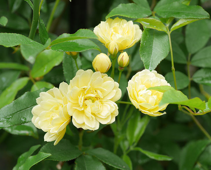 黄モッコウバラ(ツルバラ)が咲いた。2019年-5.jpg