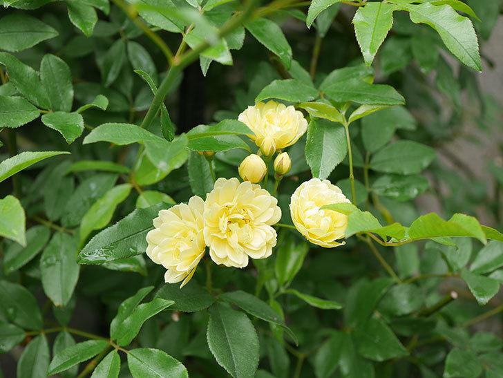 黄モッコウバラ(ツルバラ)が咲いた。2019年-6.jpg