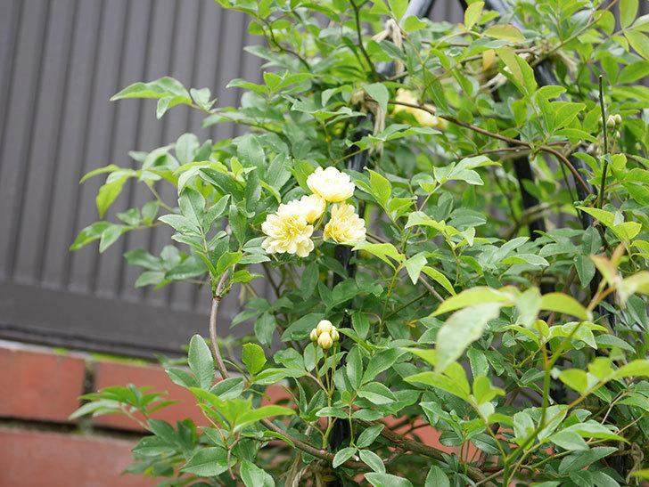 黄モッコウバラ(ツルバラ)が咲いた。2019年-7.jpg