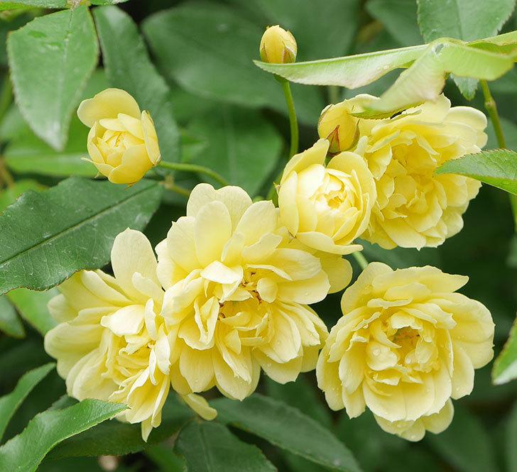 黄モッコウバラ(ツルバラ)が咲いた。2019年-9.jpg
