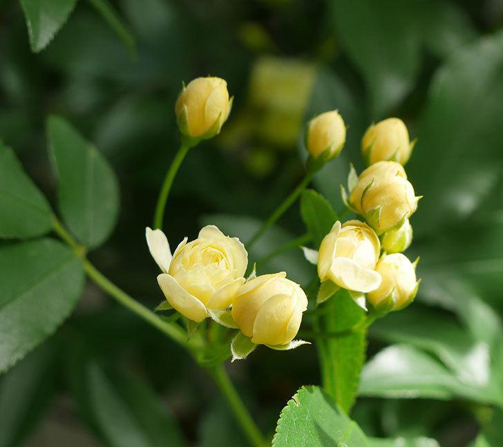 黄モッコウバラ(ツルバラ)が少し咲いた。2018年-1.jpg