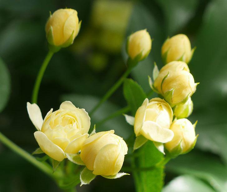 黄モッコウバラ(ツルバラ)が少し咲いた。2018年-3.jpg