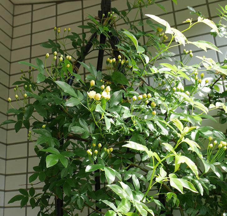 黄モッコウバラ(ツルバラ)が少し咲いた。2018年-4.jpg