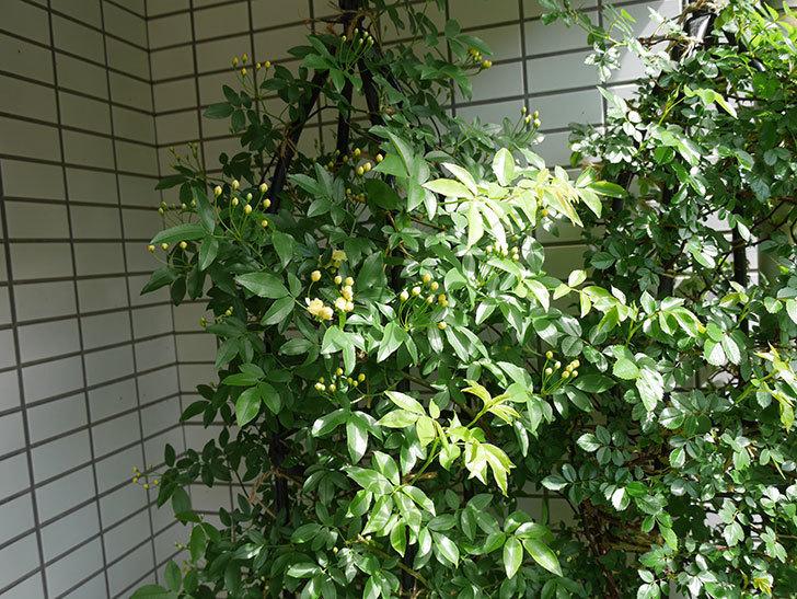 黄モッコウバラ(ツルバラ)が少し咲いた。2018年-5.jpg
