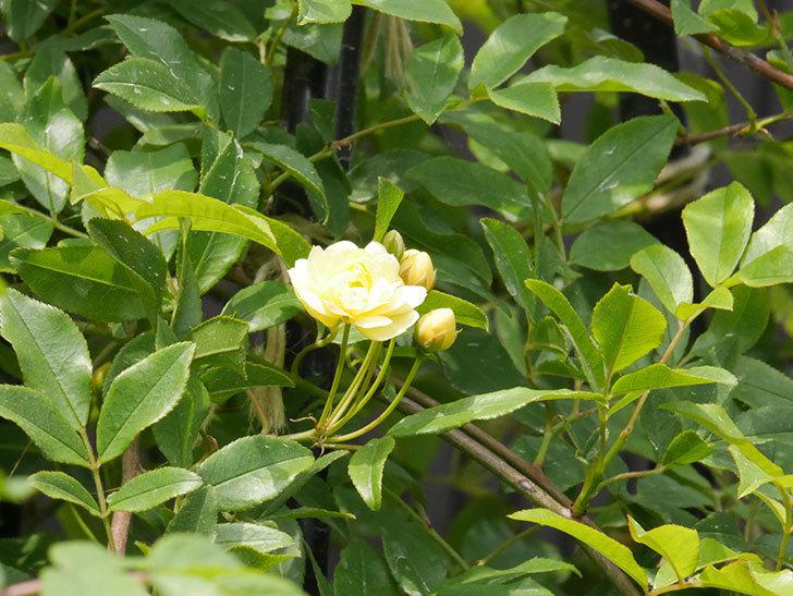 黄モッコウバラ(ツルバラ)の花が咲きだした。2019年-2.jpg