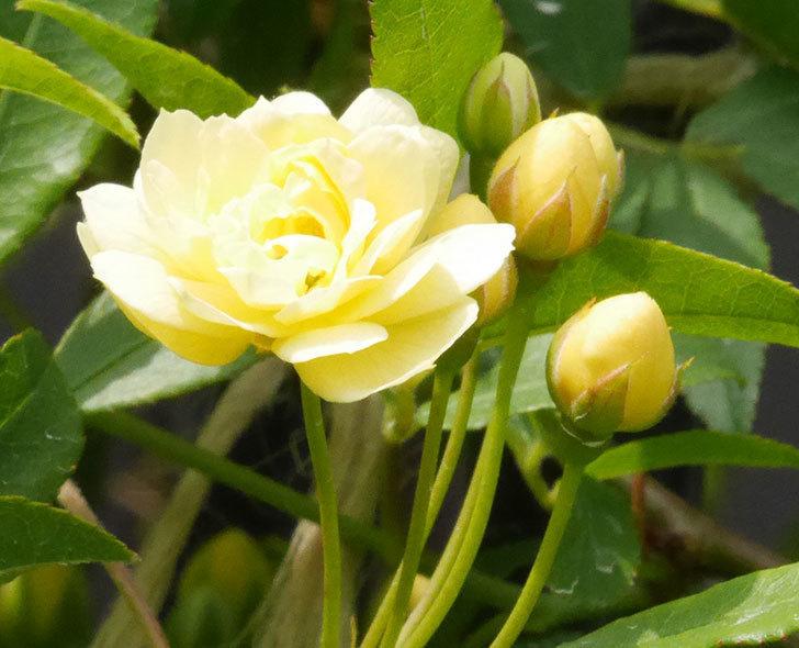 黄モッコウバラ(ツルバラ)の花が咲きだした。2019年-3.jpg