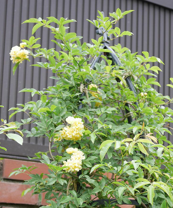 黄モッコウバラ(ツルバラ)の花が増えて来た。2019年-1.jpg
