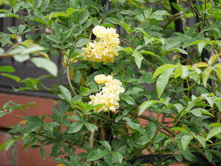 黄モッコウバラ(ツルバラ)の花が増えて来た。2019年-10.jpg