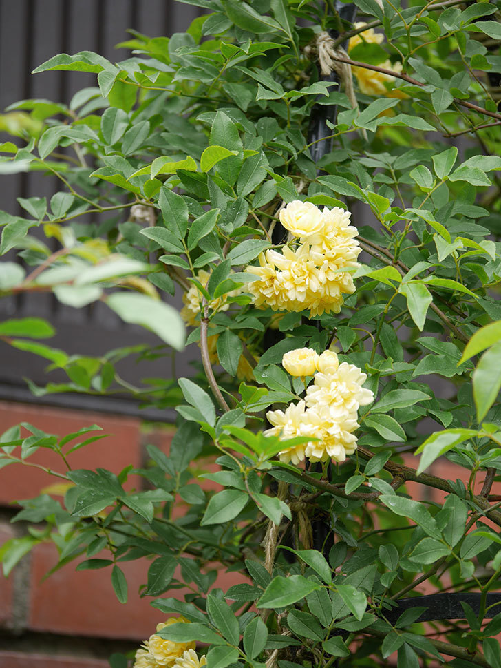 黄モッコウバラ(ツルバラ)の花が増えて来た。2019年-11.jpg