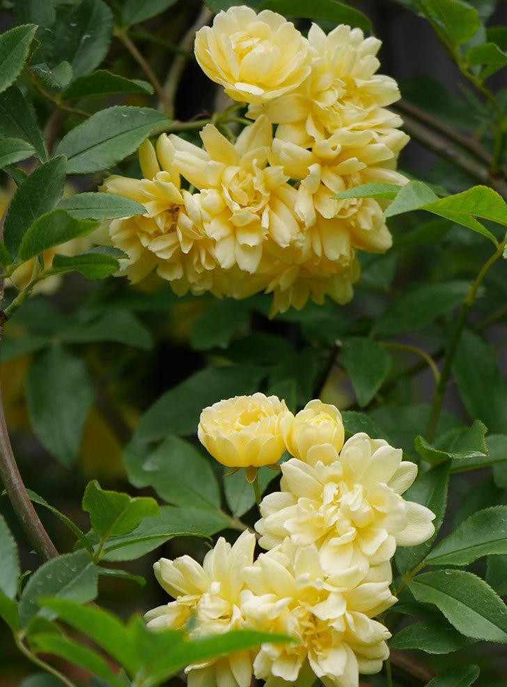 黄モッコウバラ(ツルバラ)の花が増えて来た。2019年-12.jpg