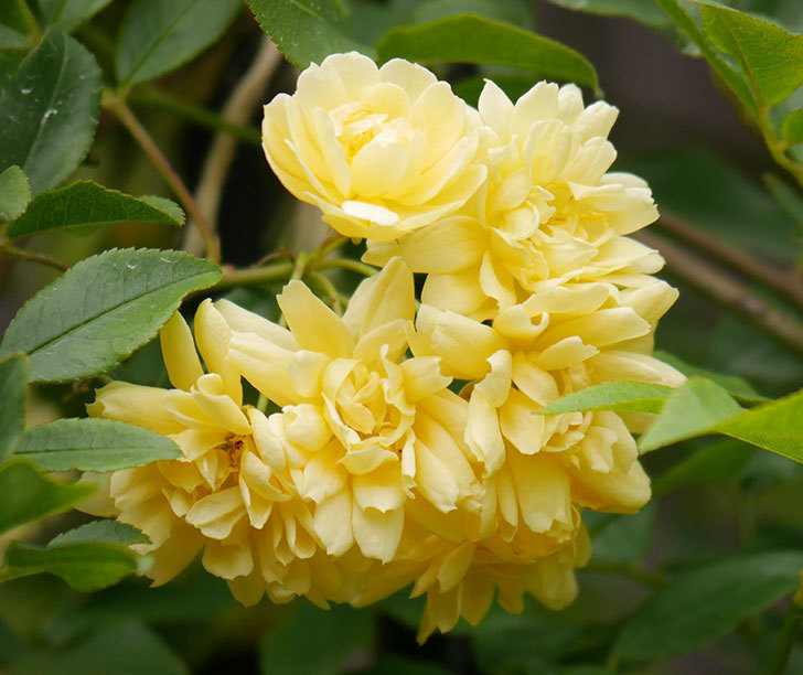 黄モッコウバラ(ツルバラ)の花が増えて来た。2019年-13.jpg