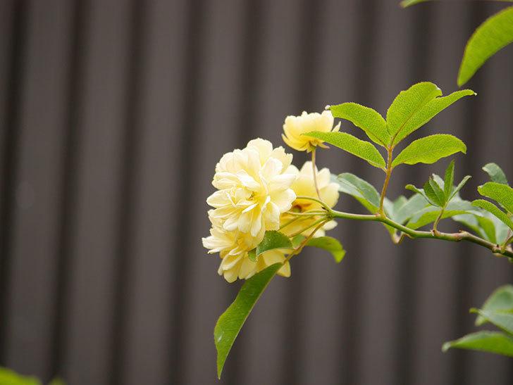 黄モッコウバラ(ツルバラ)の花が増えて来た。2019年-14.jpg