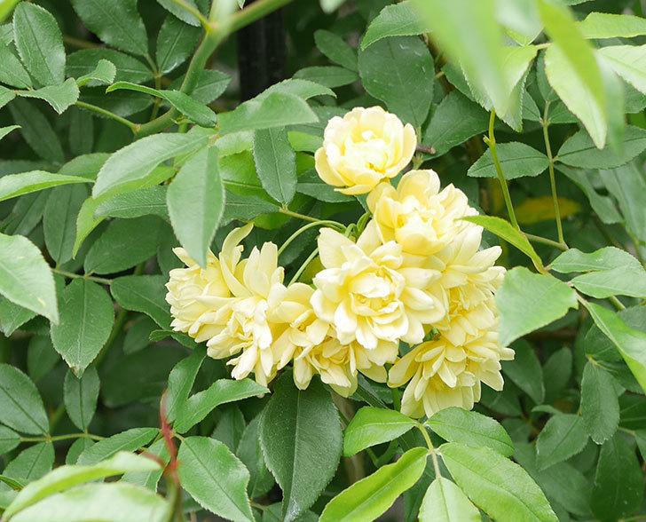 黄モッコウバラ(ツルバラ)の花が増えて来た。2019年-2.jpg