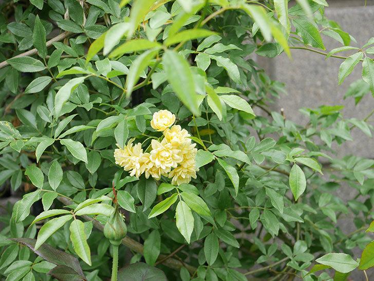 黄モッコウバラ(ツルバラ)の花が増えて来た。2019年-3.jpg