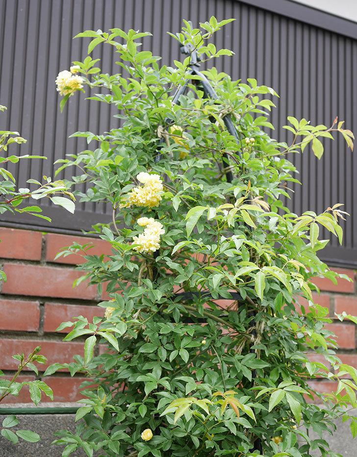 黄モッコウバラ(ツルバラ)の花が増えて来た。2019年-4.jpg