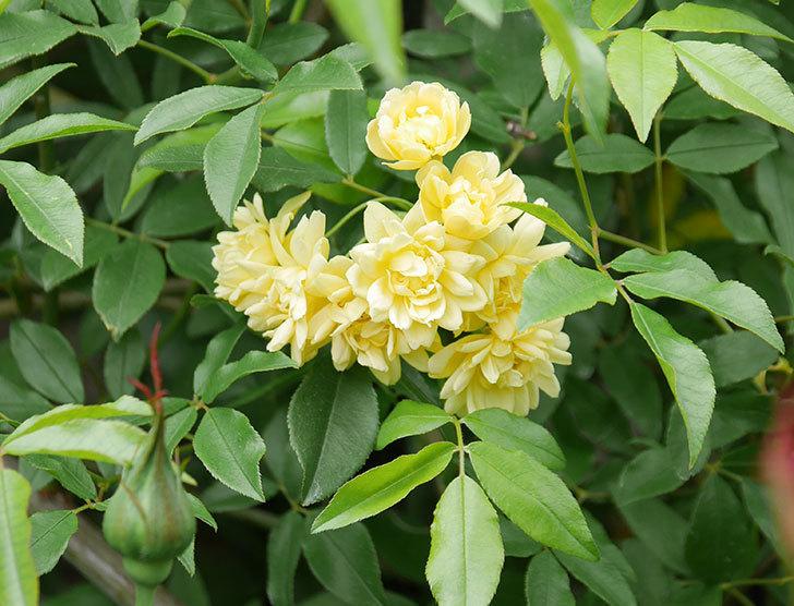 黄モッコウバラ(ツルバラ)の花が増えて来た。2019年-5.jpg