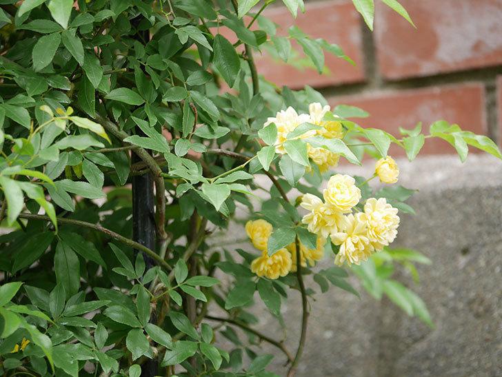 黄モッコウバラ(ツルバラ)の花が増えて来た。2019年-6.jpg