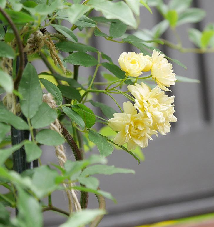 黄モッコウバラ(ツルバラ)の花が増えて来た。2019年-7.jpg