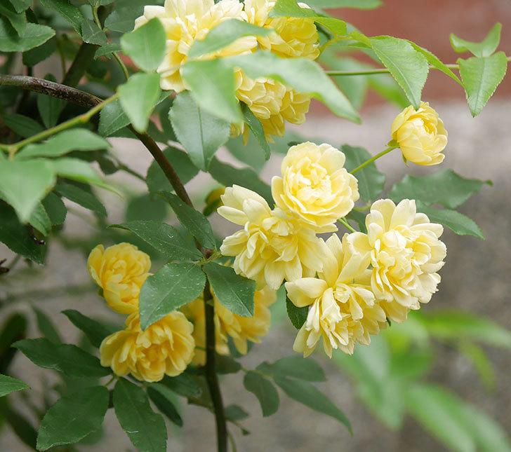 黄モッコウバラ(ツルバラ)の花が増えて来た。2019年-8.jpg