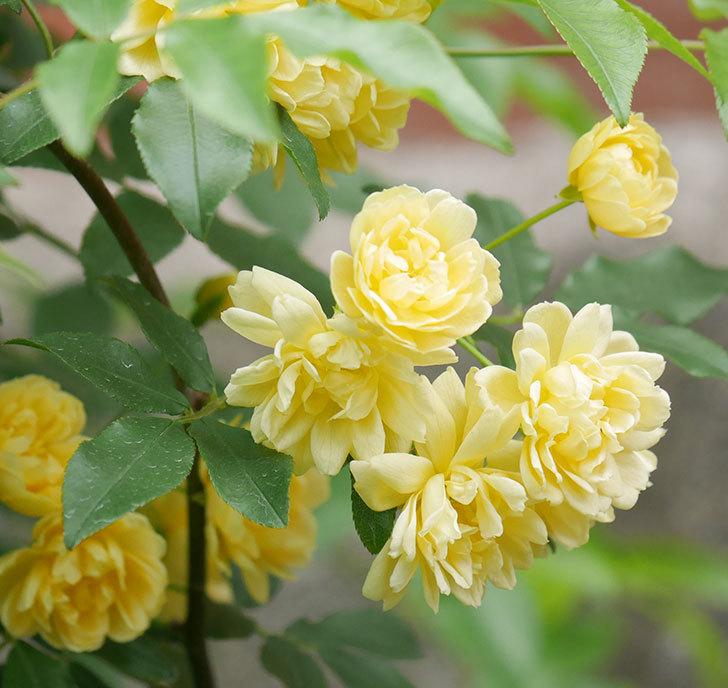 黄モッコウバラ(ツルバラ)の花が増えて来た。2019年-9.jpg