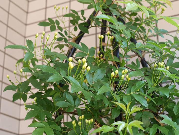 黄モッコウバラ(ツルバラ)の蕾が色づいてきた。2018年-1.jpg