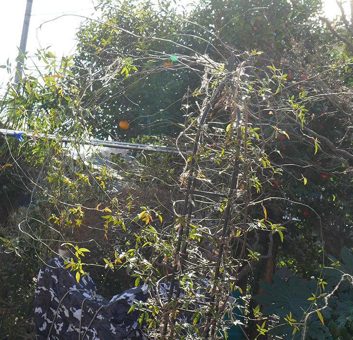 黄モッコウバラ(ツルバラ)の鉢植えをオベリスクに誘引した。2019年-3.jpg