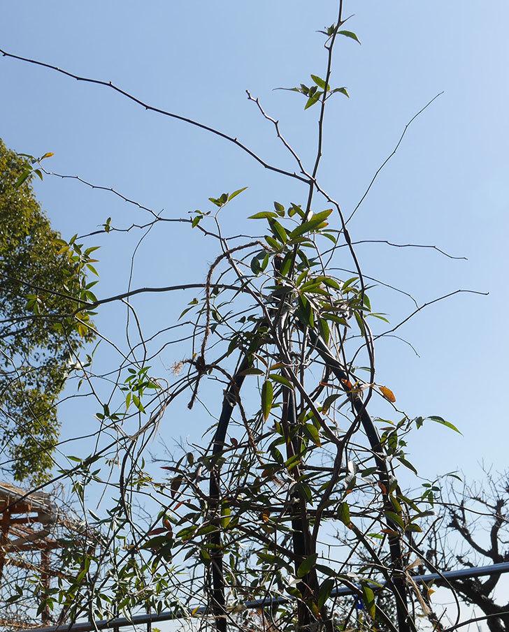黄モッコウバラ(ツルバラ)の鉢植えをオベリスクに誘引した。2019年-5.jpg