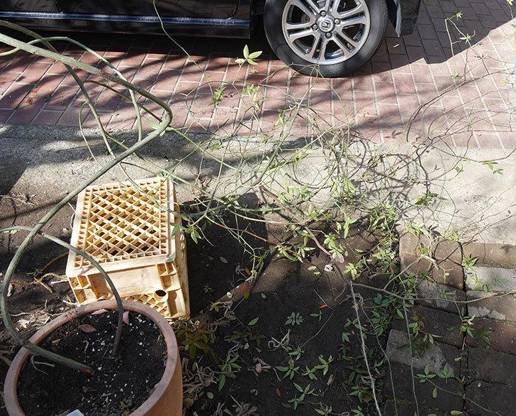 黄モッコウバラ(ツルバラ)の鉢植えをオベリスクに誘引した。2019年-6.jpg