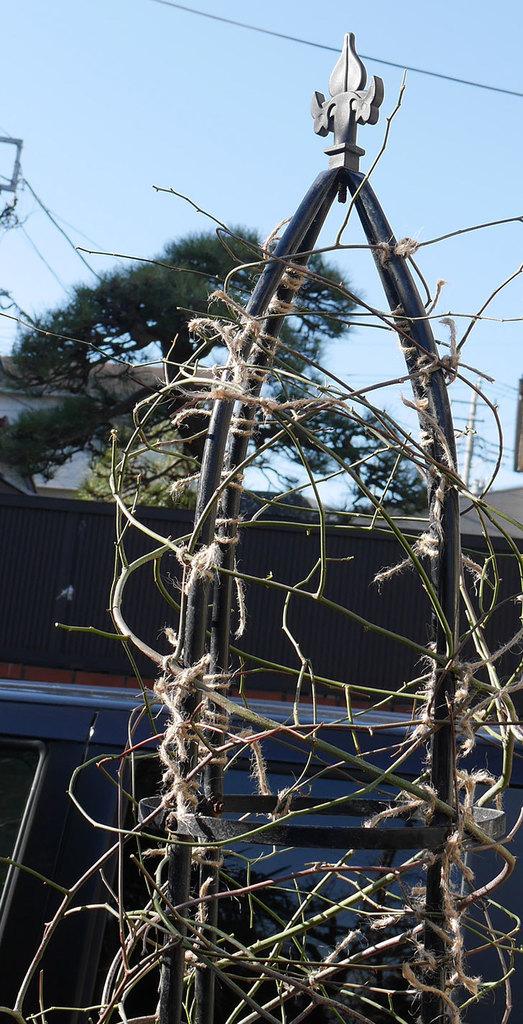 黄モッコウバラ(ツルバラ)の鉢植えをオベリスクに誘引した。2019年-8.jpg