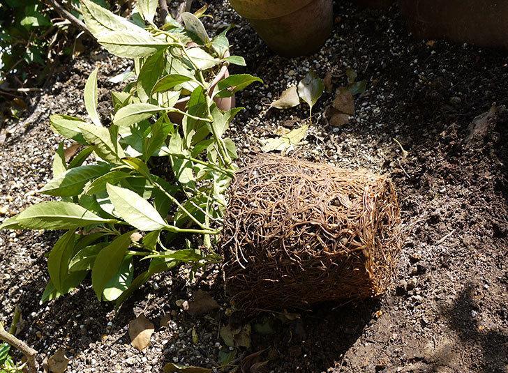 黄千両 煌を地植えした。2016年-17.jpg