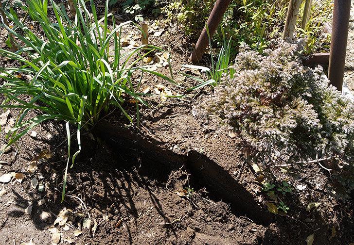 黄千両 煌を地植えした。2016年-5.jpg