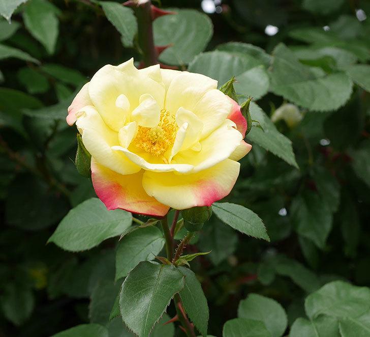 黄色とオレンジのバラ(木立バラ)が咲いた。2019年-1.jpg