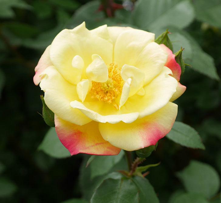 黄色とオレンジのバラ(木立バラ)が咲いた。2019年-2.jpg